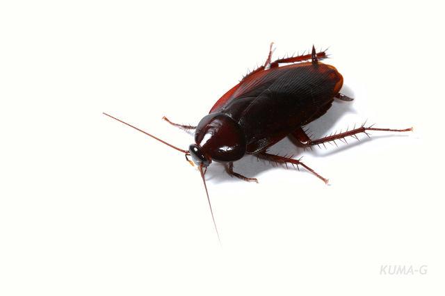 クロゴキブリ ゴキブリについて-有限会社クリーンライフの知識の部屋 シロアリ ネズミ ゴキブリ